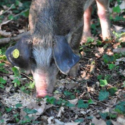 varken in het bos